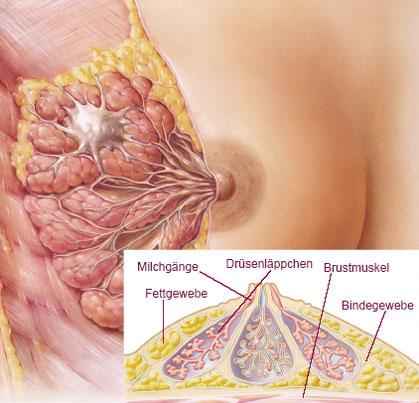 Bild_Brustdrüse anatomischer Aufbau