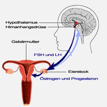 Aufgaben der Hormone