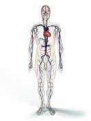 Blutgerinnung Blutkreislauf