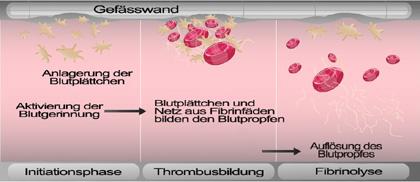 Blutgerinnung Vorgang
